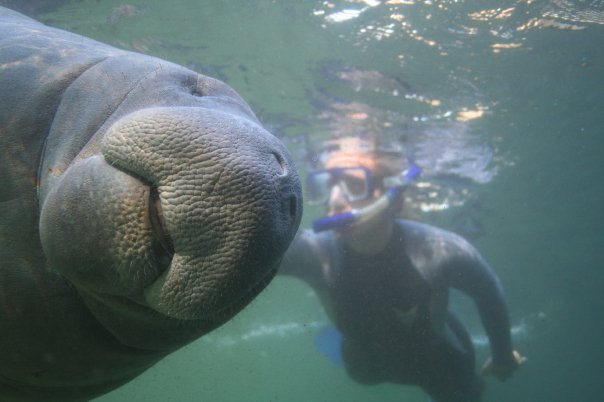 Swim with the Manatees in Crystal River